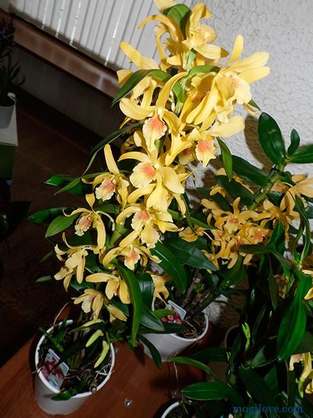 orhidei10