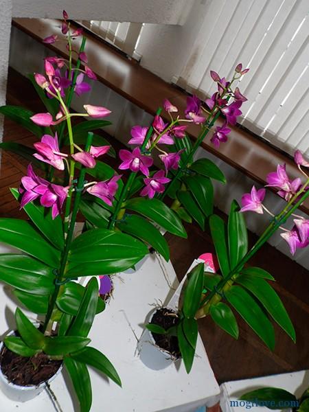 orhidei7